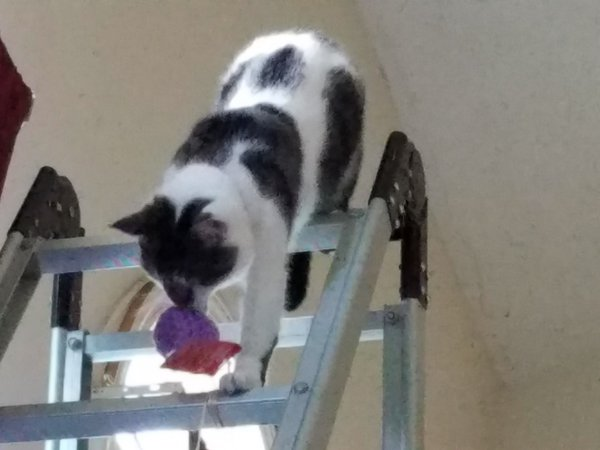 Cat at top of ladder with toy thumbnail