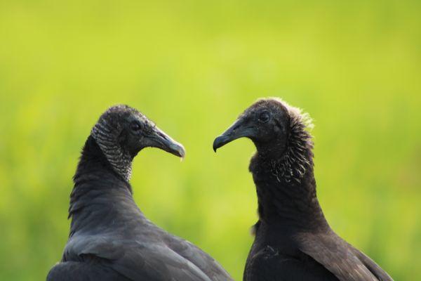 Two Black Vultures  at Bombay Hook thumbnail
