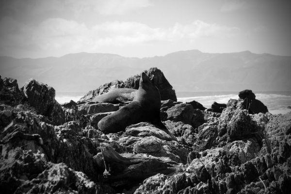 Fur seal off the coast of Wellington, New Zealand thumbnail