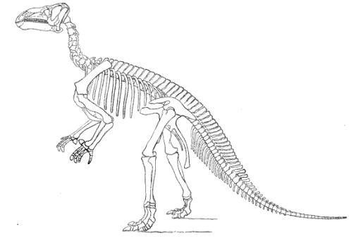 20110520083147iguanodon-skeleton-restoration.jpg