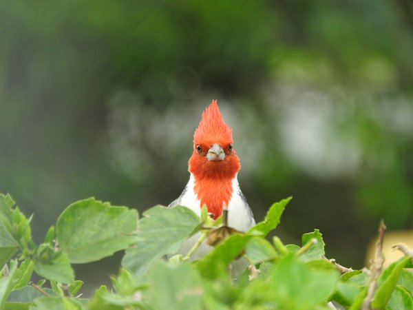 Staring off with a red-crested cardinal thumbnail