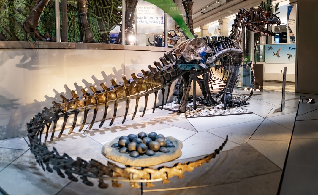 Dinosour skeleton with tail wrapped around a replica nest of eggs