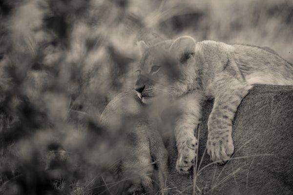 Daydreaming Lion Cub thumbnail