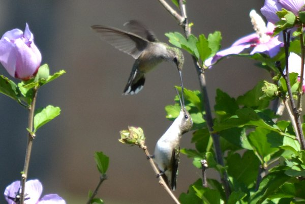 Momma hummingbird feeding her baby thumbnail