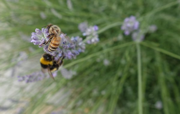 Two species of bees foraging together thumbnail