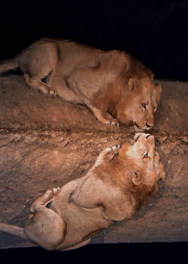 Kruger Lion drinking at night thumbnail