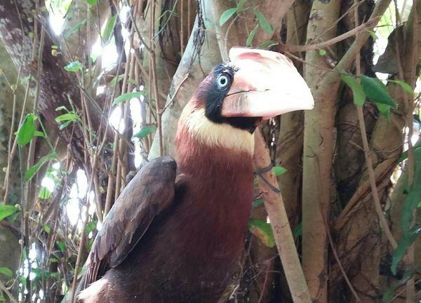 A big HORNBILL bird danao park camotes thumbnail