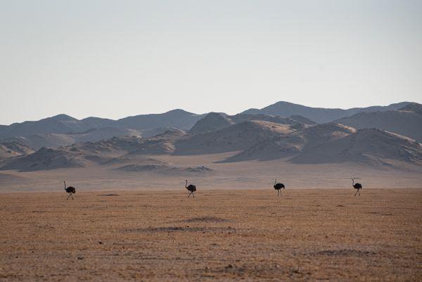 Ostrich Train in the Desert thumbnail