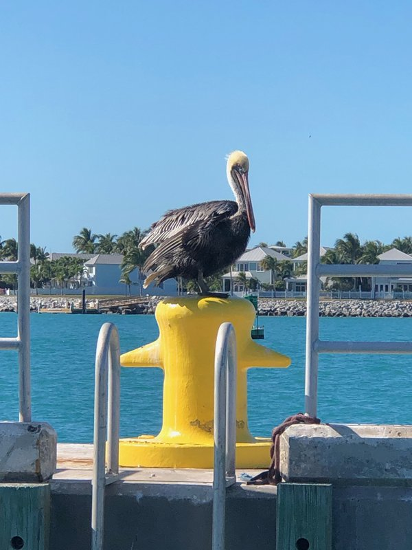 A pelican takes a midafternoon break. thumbnail