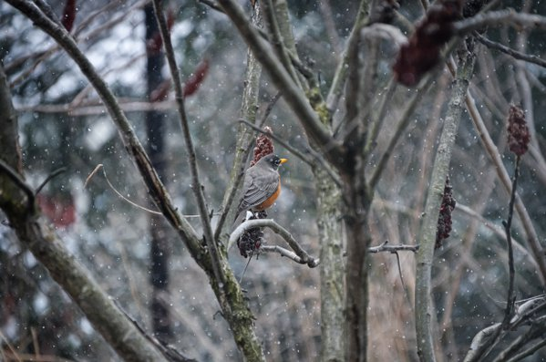 A robin awaiting spring thumbnail