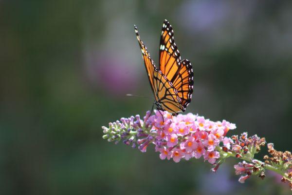 Sunbathing Monarch thumbnail