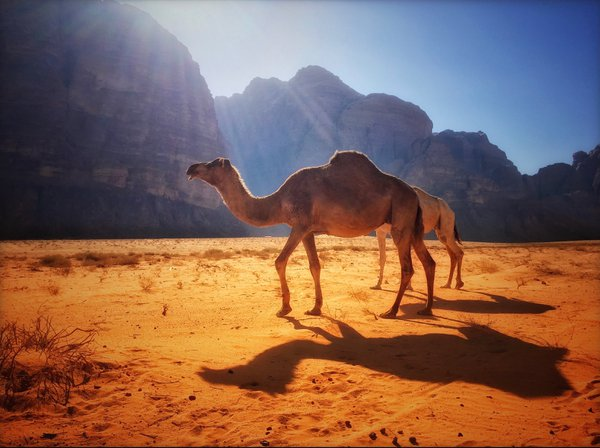 Camel of the Wadi Rum desert Jordan. thumbnail