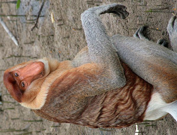 Proboscis Monkey.  Sarawak, Malaysian Borneo. thumbnail