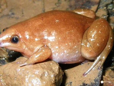 Little is known about the zombie frog and its cousins. They are rather plump with narrow mouths and pointed noses. The small, nocturnal amphibians of the genus Synapturanus live mostly underground.