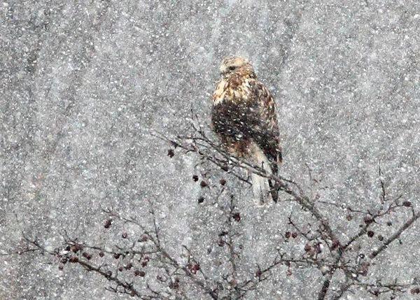 Rough Legged Hawk in Winter thumbnail
