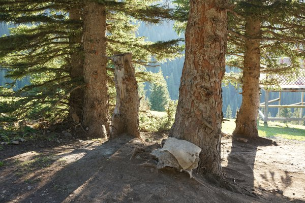 Sheep hides under pine trees on a hill in the Grasslands thumbnail