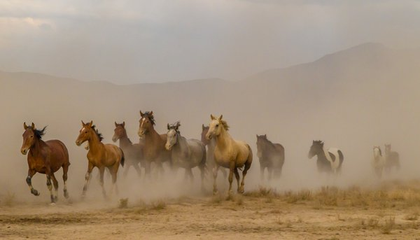 Wild horses raising dust cloud as they run. thumbnail