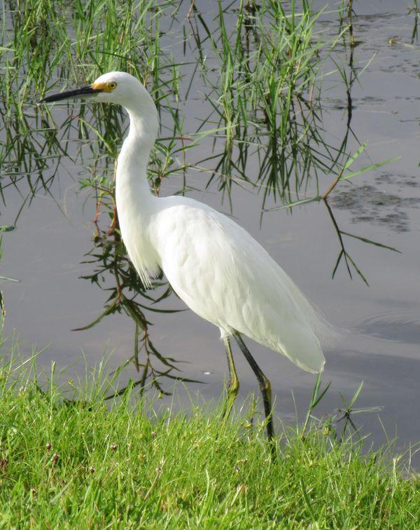 A Snowy Egret thumbnail