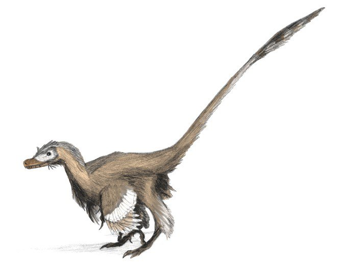 Brown, left-facing, feathered velociraptor on white background.
