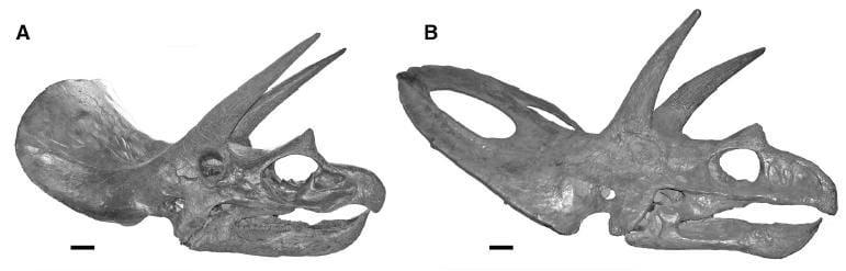 20110520083231Triceratops-skulls.jpg