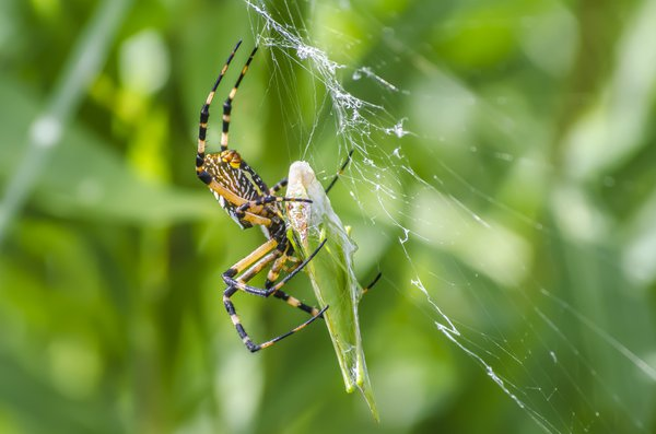 Black and Yellow Argiope thumbnail