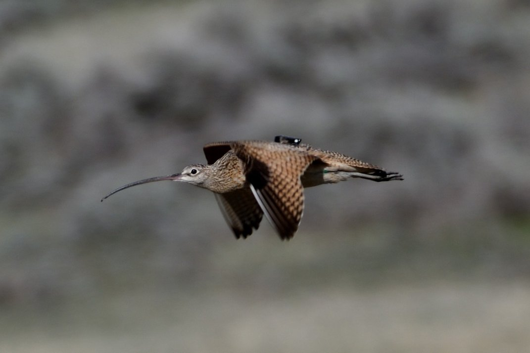 A long-billed curlew flying with a gps tracker attached to its back