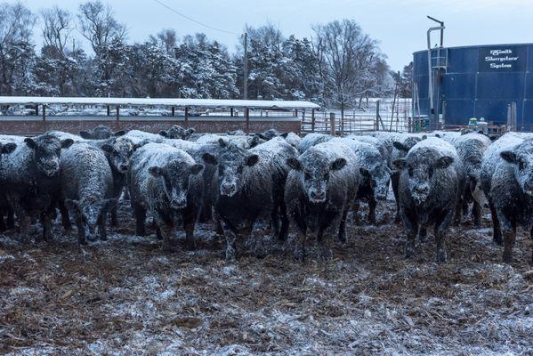 Steer await breakfast thumbnail
