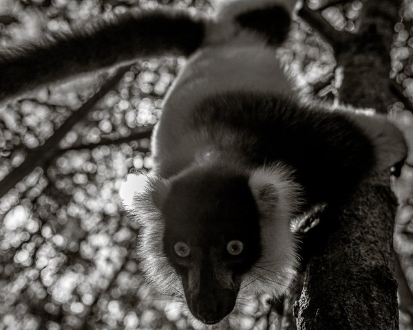 Black and white ruffed Lemur hangs from a tree thumbnail
