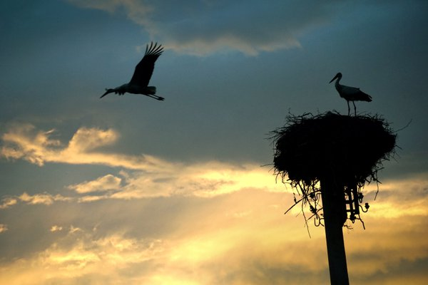 A stork nest at sunset  thumbnail