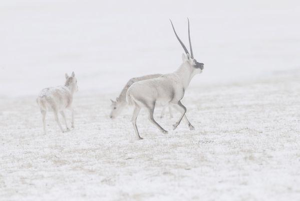 Tibetan antelope in the snowfield thumbnail