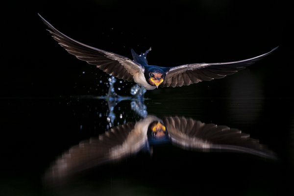 Barn swallows feed almost exclusively in flight, flying lower than many other swallow species and often nearly hugging the ground or water surface.