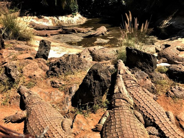 Crocodiles sunbathing thumbnail
