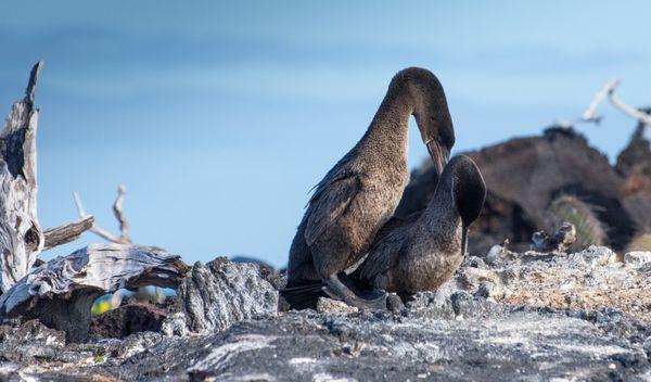 Flightless cormorant pair, Galapagos, 2019 thumbnail