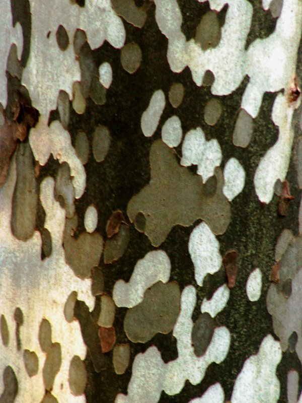 The bark of a Birch tree shows it's many colors in the woods of Clifty Falls State Park. thumbnail