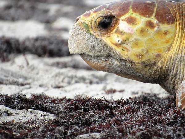 A loggerhead turtle coming a shore to lay its eggs during the late morning on shoreline of Vero Beach, Florida. thumbnail