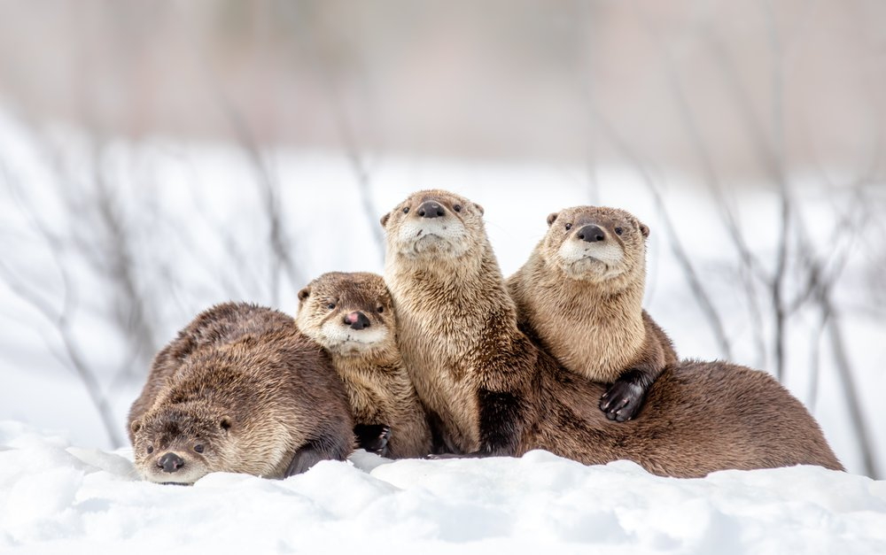 A romp of otters pausing from play to show some love.