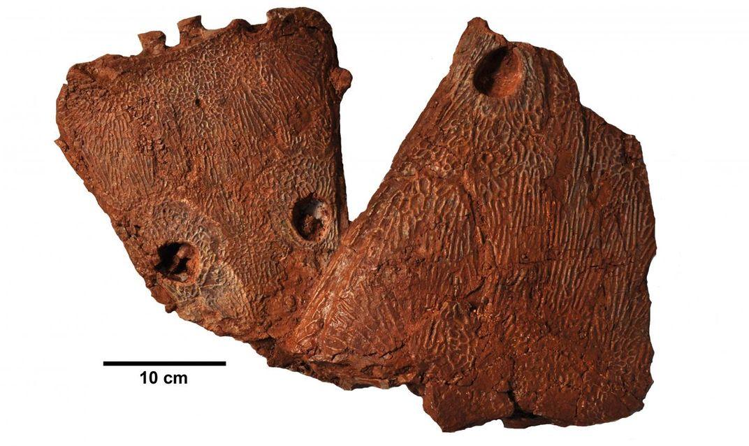Metoposaurus algarvensis skull fossils, Credit: Octavio Mateus, Richard Butler, and Steve Brusatte